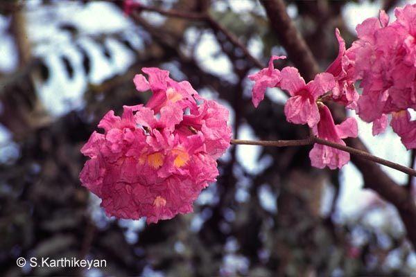 Tabebuia Avellanedae Common Name Pink Tabebuia Origin Paraguay Argentina Flowering Season January Februa Flowering Trees Trees To Plant Ornamental Trees