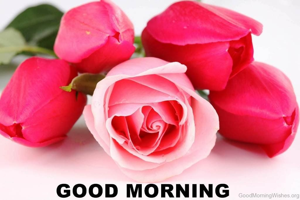 Good Morning Rose Flower Image Beautiful Pink Roses Good Morning Rose Images Pink Rose Pictures