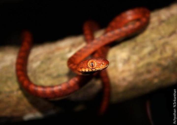 Andaman Cat Snake | Boiga andamanensis hatchling