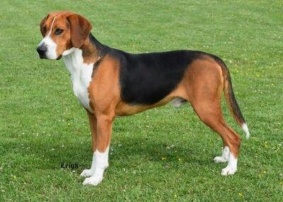 Hamiltonstovare Dog Cute Dog Mixes Beagle Dog Dogs