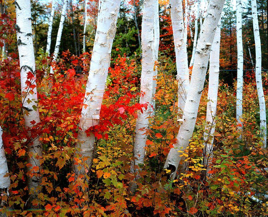 Fall Birch New Hampshire by Martin Sugg