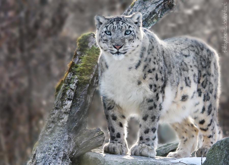 Snow Leopard Snow Animals Big Cat Family Snow Leopard