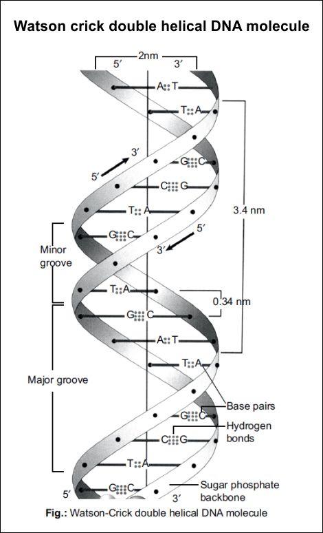 Watson Crick Double Helical Dna Molecule Dna Molecule Dna Activities Dna Facts