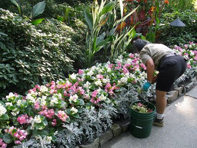 Pink White Begonias With Dusty Miller Idea For The Pathway Butchart Gardens Begonia Plants