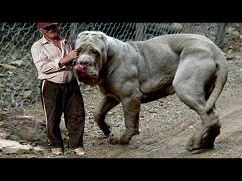 70 Ideas De Monstruo El Perro Más Grande Del Mundo Perros Gigantes Perros Enormes