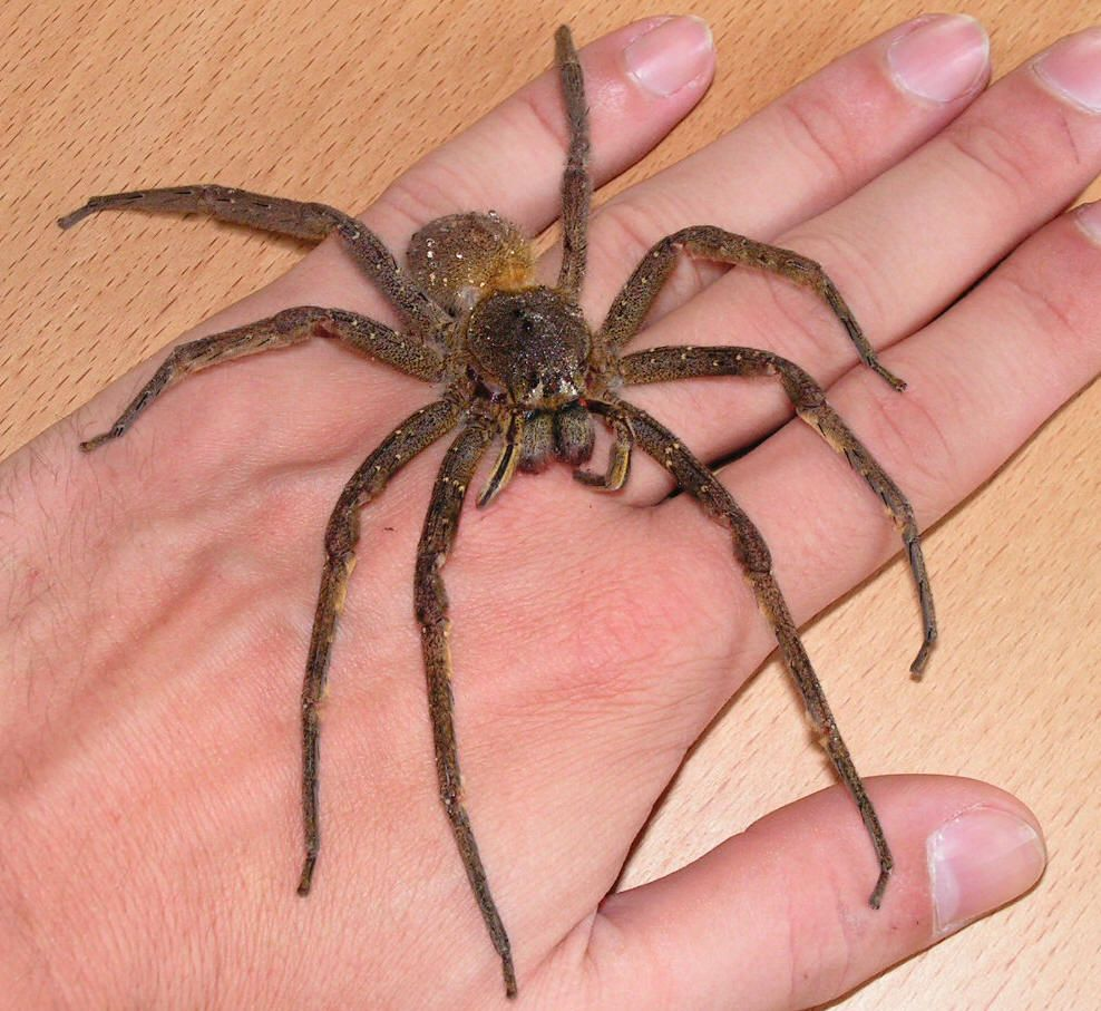 Brazilian Wandering Spiders, Armed Spiders, or Banana Spiders, are a ...