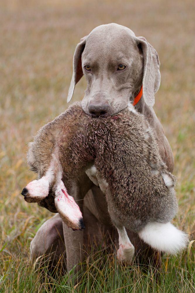Weimeraner hunting