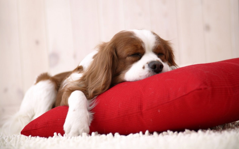 A King Charles Spaniel gets comfy. #kingcharles #ckcs #naturessleep