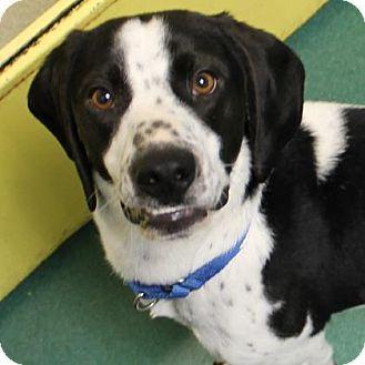 Richmond, VA Beagle/Pointer Mix. Meet Ranger, a dog for