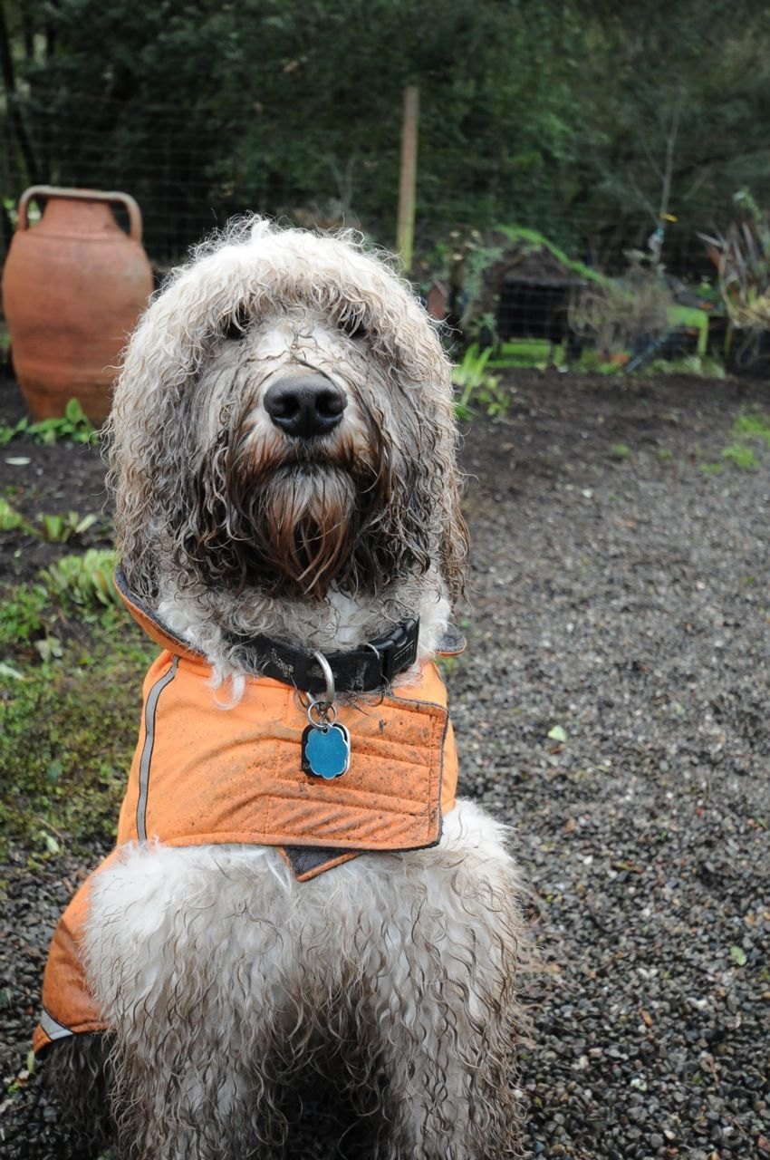 That S A Wet And Muddy Doodle Doodles Are Good At Finding Mud