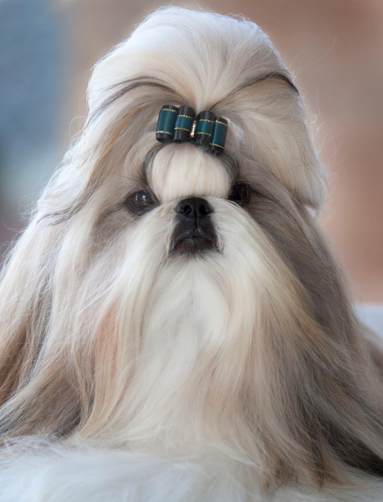 Long Hair Shih Tzu Shih Tzu Dogs Shih Tzu Lover