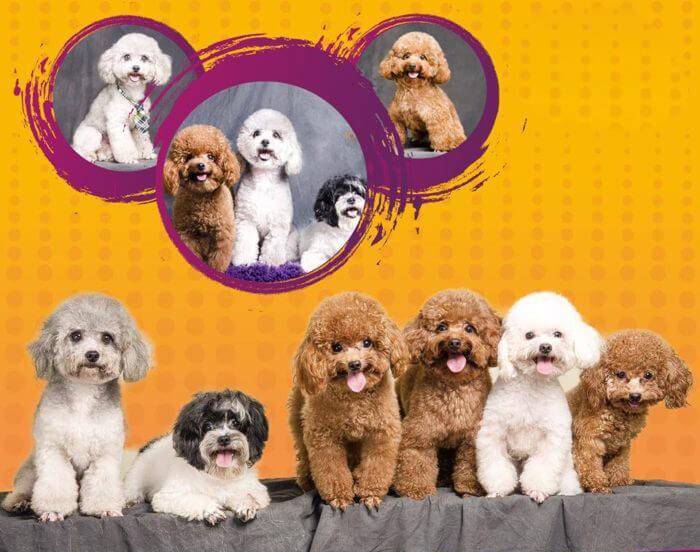 Chó săn vịt - thông tin đặc điểm, tính cách, giá bán mới nhất