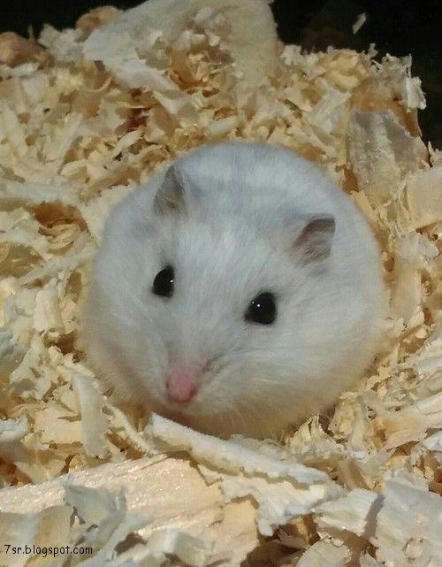 صور هامستر معلومات وانواع الهامستر Animals Hamster Pictures