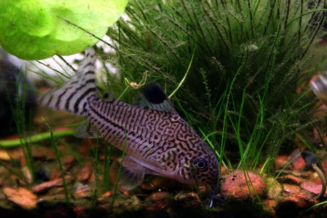 Freshwater aquarium fish photos - Freshwater Tropical Fish Aquarium Fish Free Wallpaper In Free Pet Category
