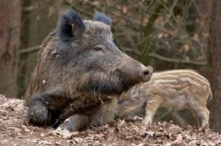 Wild zwijn heeft veel geduld, want hij zoekt urenlang naar de truffels rondom de boomwortels. Het zwijn heeft een goede focus en concentratie.