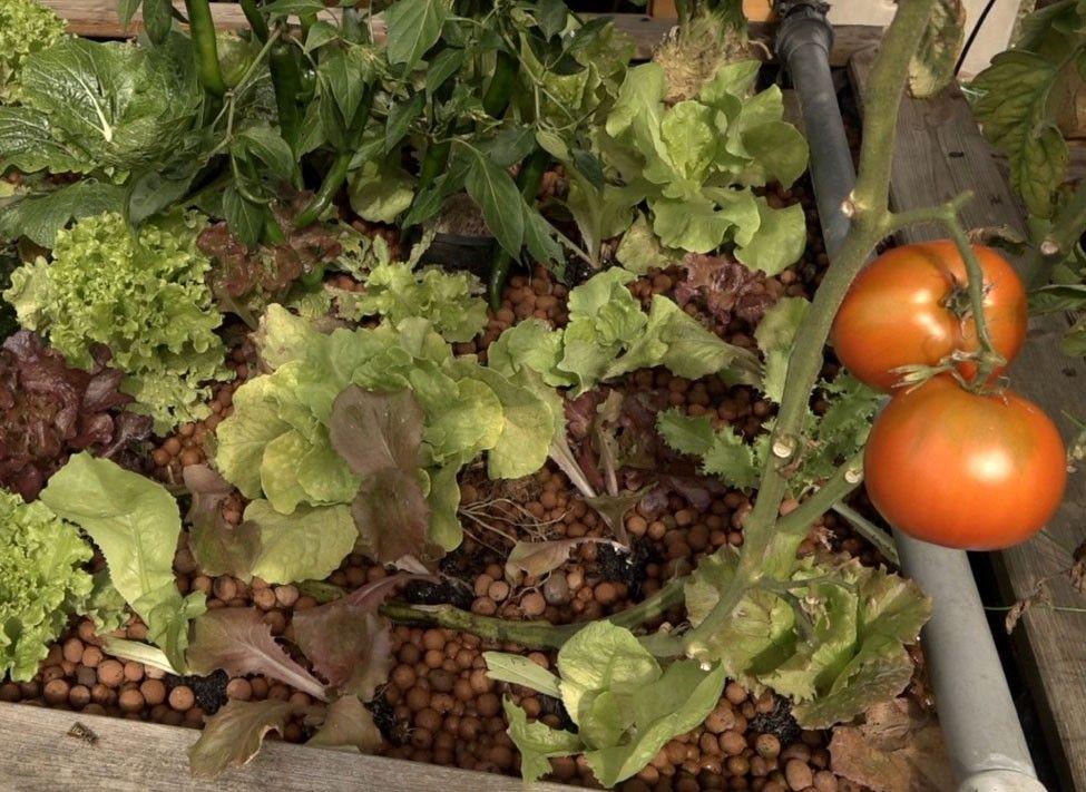Comment cultiver des légumes dehors, en aquaponie
