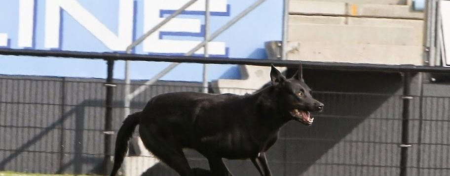 Personal Protection Dogs For Sale Belgian Malinois Puppies
