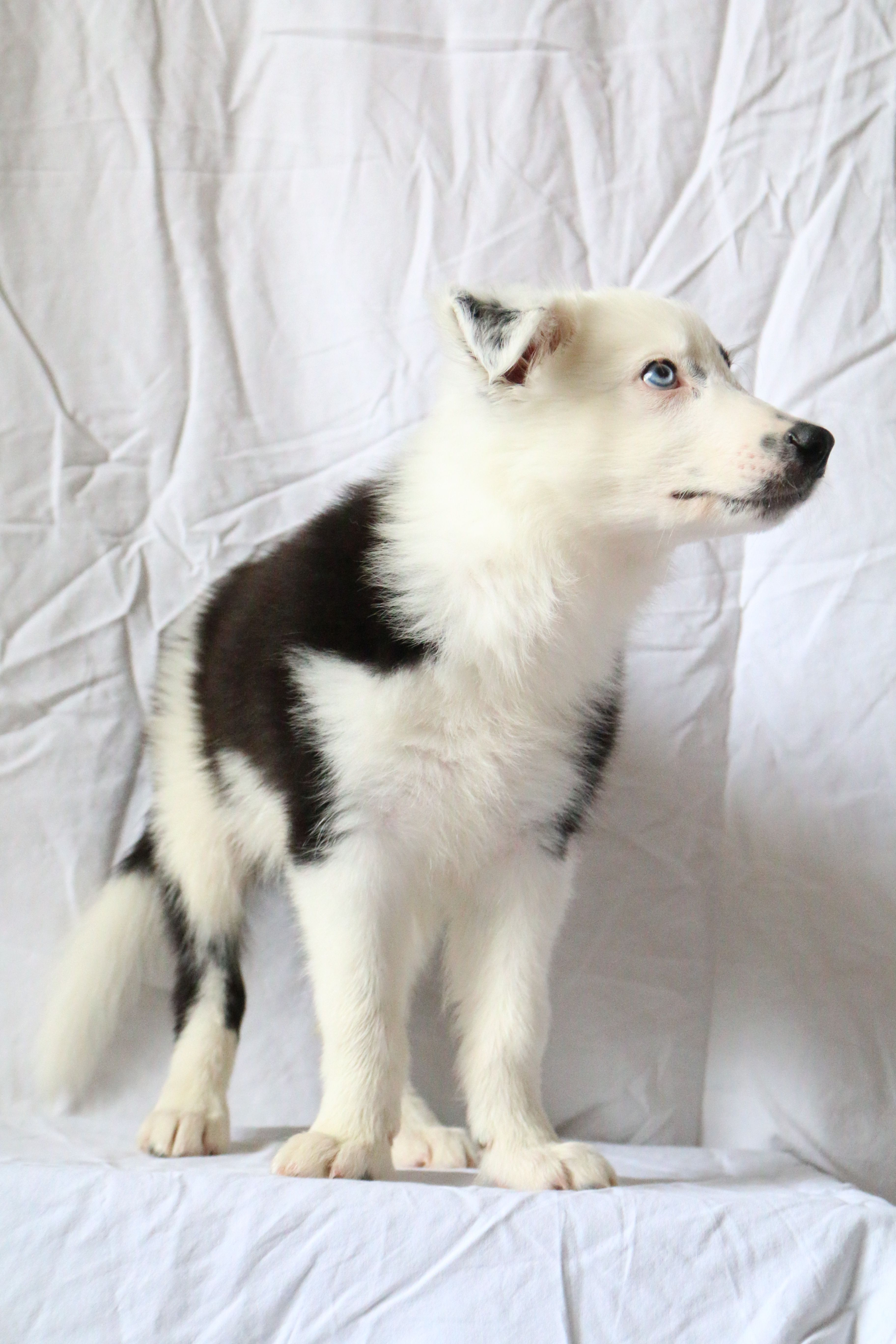 Black And White Border Collie Aremis With Blue Eye White