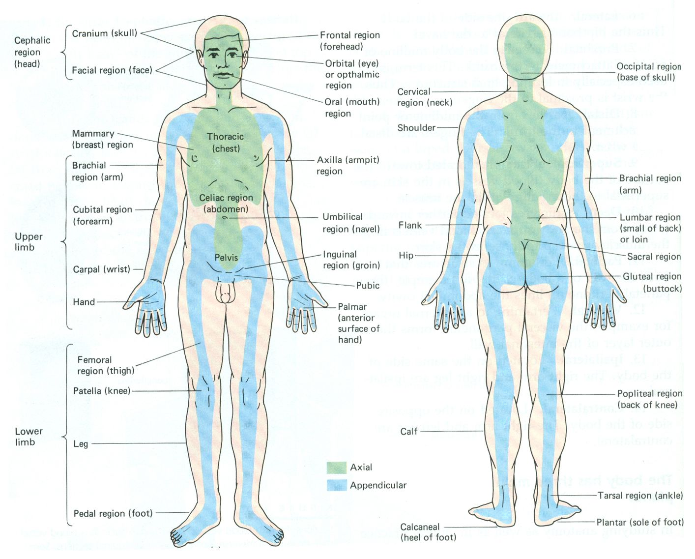 Body regions | Physical Body | Pinterest | Phlebotomy