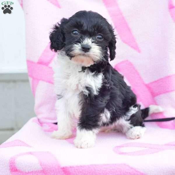 Oreo Cavapoo Puppy For Sale in Ohio Cavapoo puppies