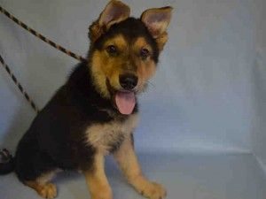 RETURN!!! Brooklyn Center EDEN – A1065526  **RETURNED 03/09/16**  SPAYED FEMALE, BROWN / BLACK, GERM SHEPHERD MIX, 4 mos OWNER SUR – ONHOLDHERE, HOLD FOR COURTESY Reason ALLERGIES Intake condition UNSPECIFIE Intake Date 03/09/2016, From NY 11356, DueOut Date , Urgent Pets on Death Row, Inc