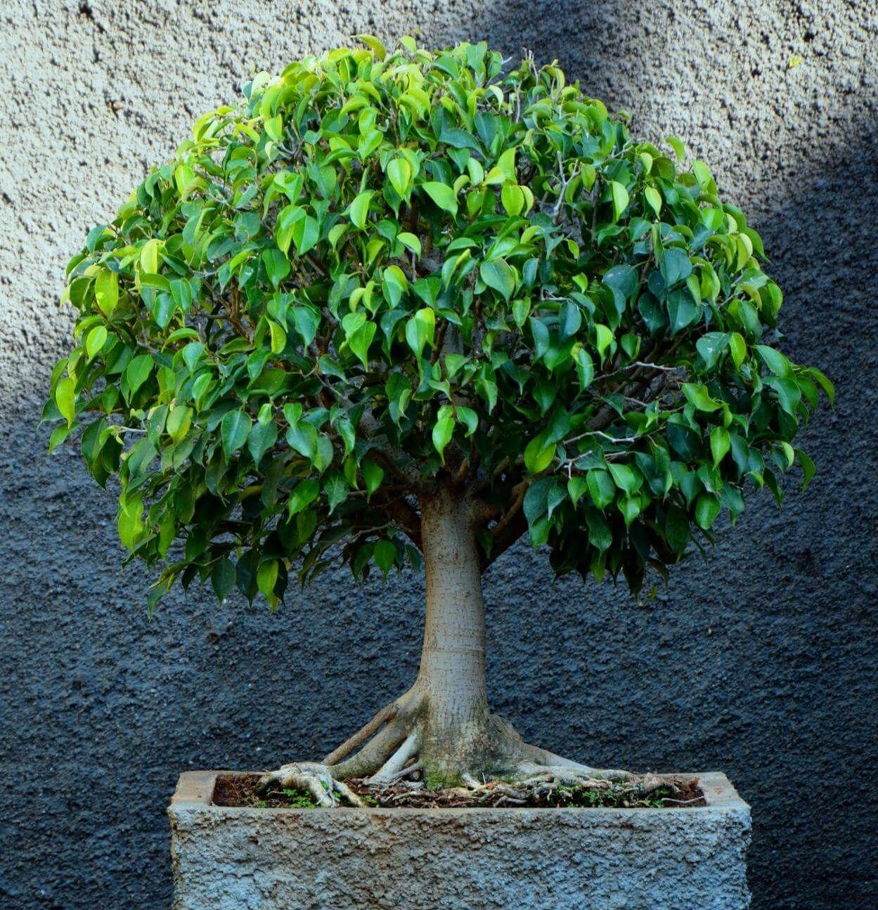 Комнатные деревья фото