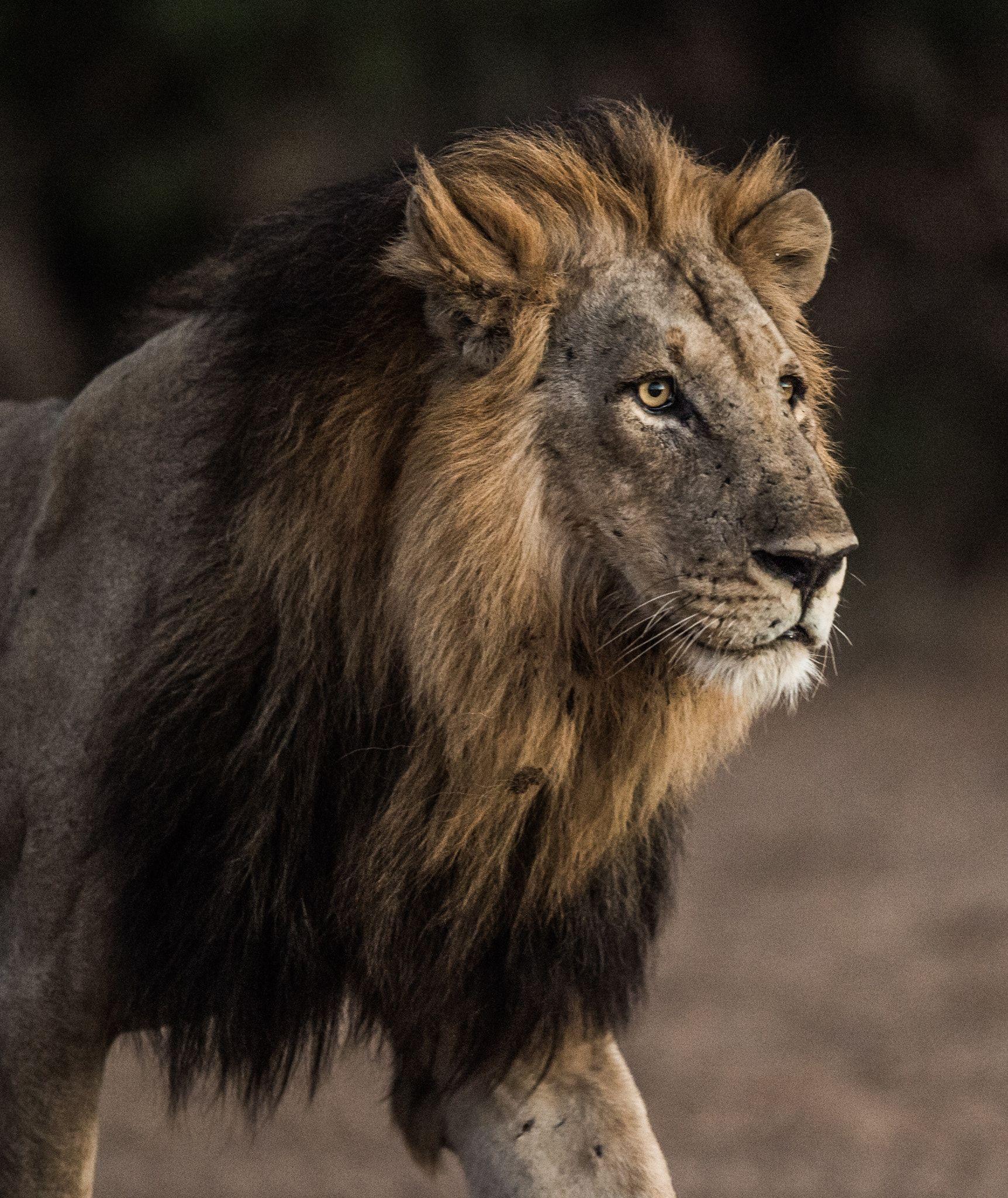 African Lion Black Mountain Lion Animals Beautiful Big Cats