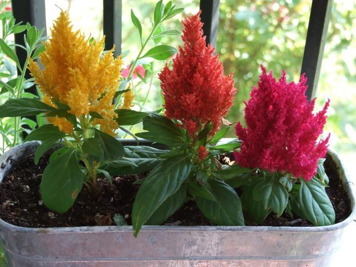 Most Beautiful Annual And Perennial Full Sun Flowers Full Sun Flowers Celosia Flower Long Blooming Perennials