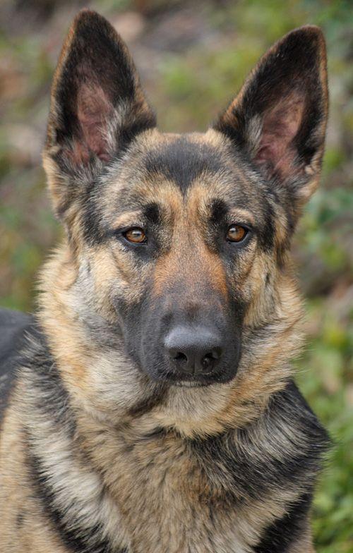 Brandy Von Rottrop Is A Beautiful 12 Month Old German Shepherd