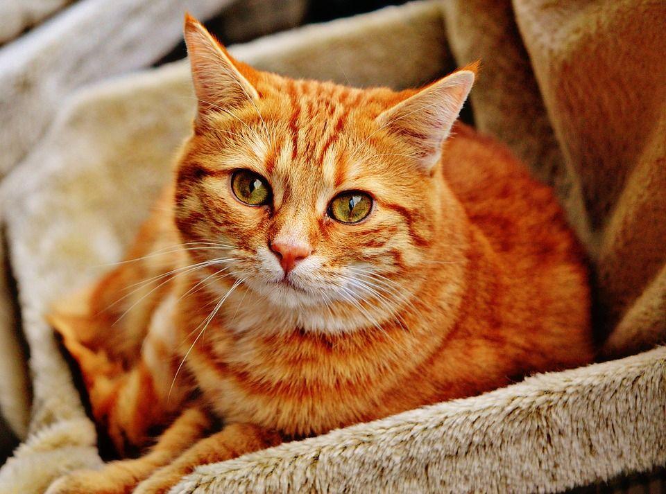 Mačka, Kocovina, Červená, Roztomilý, Makrela, Tiger