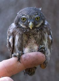 Juvenile Eurasian Pygmy Owl