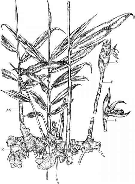 Figure 2.2 Sketch of the ginger plant showing the origin