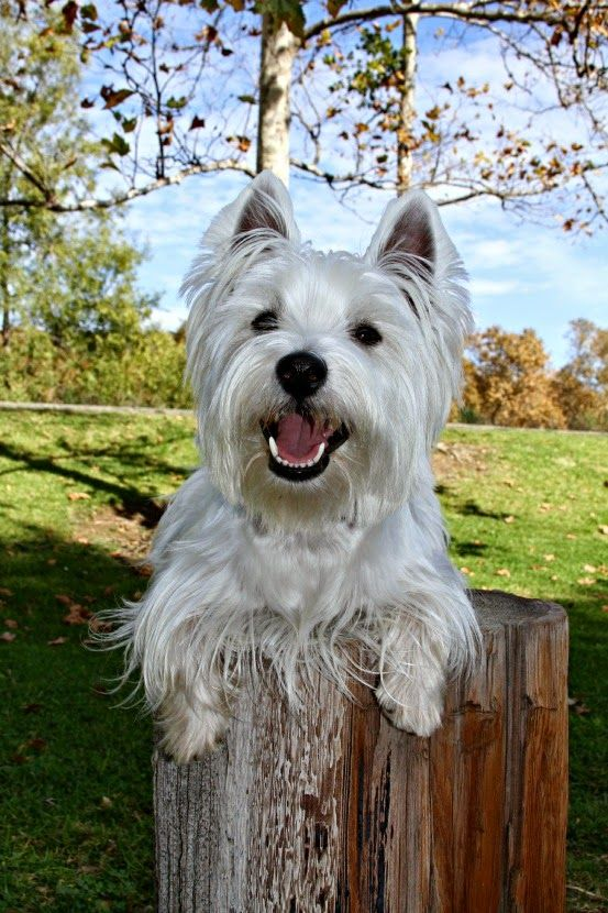 The White Dog Blog Fractured Fryday Hairy Tails Westie Dogs Westies White Dogs