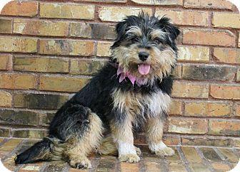 Benbrook Tx Norwich Terrier Mix Meet Gretchen A Dog For Adoption Http Www Adoptapet Com Pet 12585944 Benbrook Norwich Terrier Terrier Mix Dog Adoption