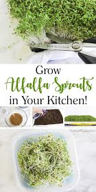 How to Grow Alfalfa Sprouts in Your Kitchen! #potatowedgesselbermachen