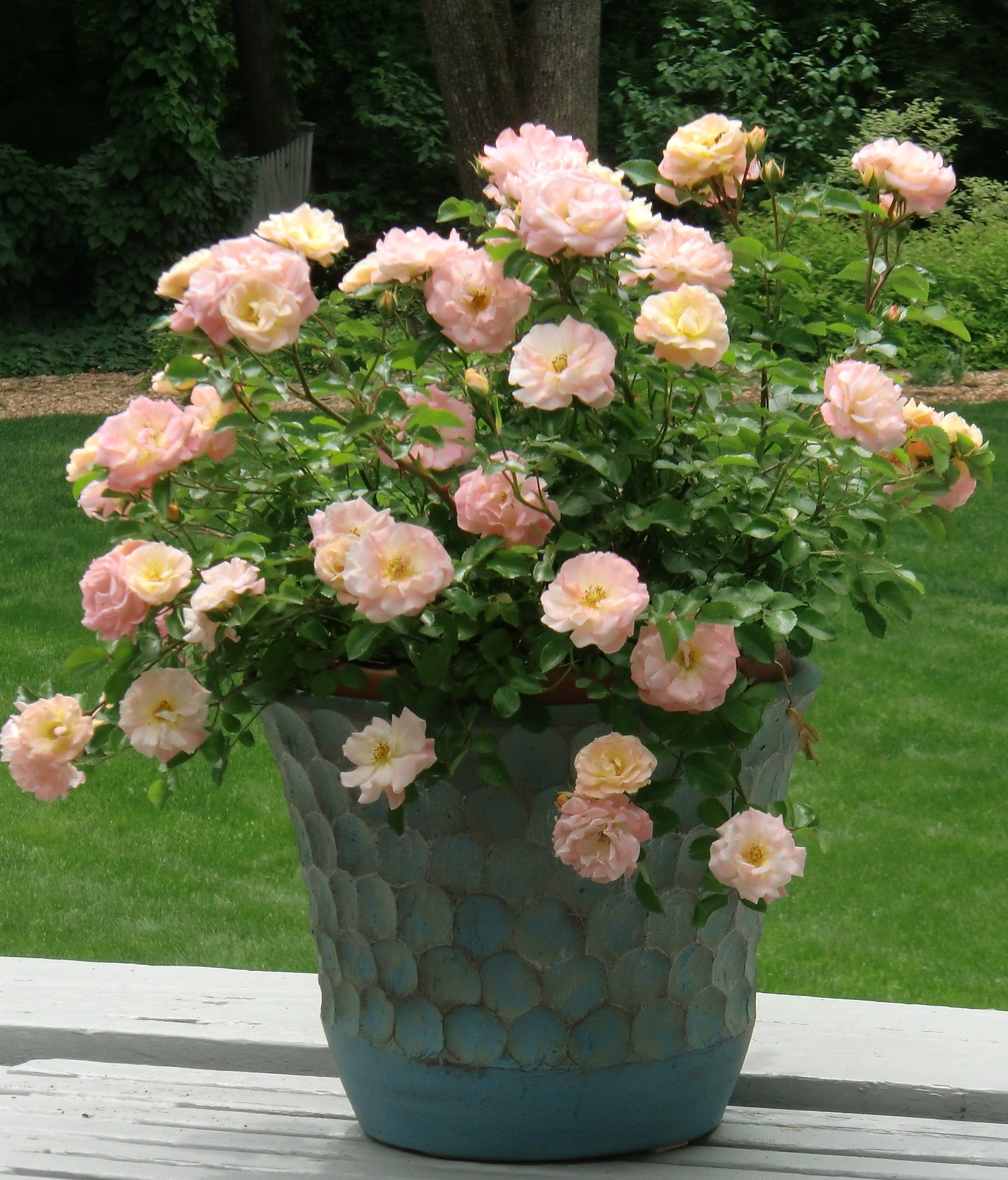 Roses In Garden: Just Making Thyme For This Garden Of