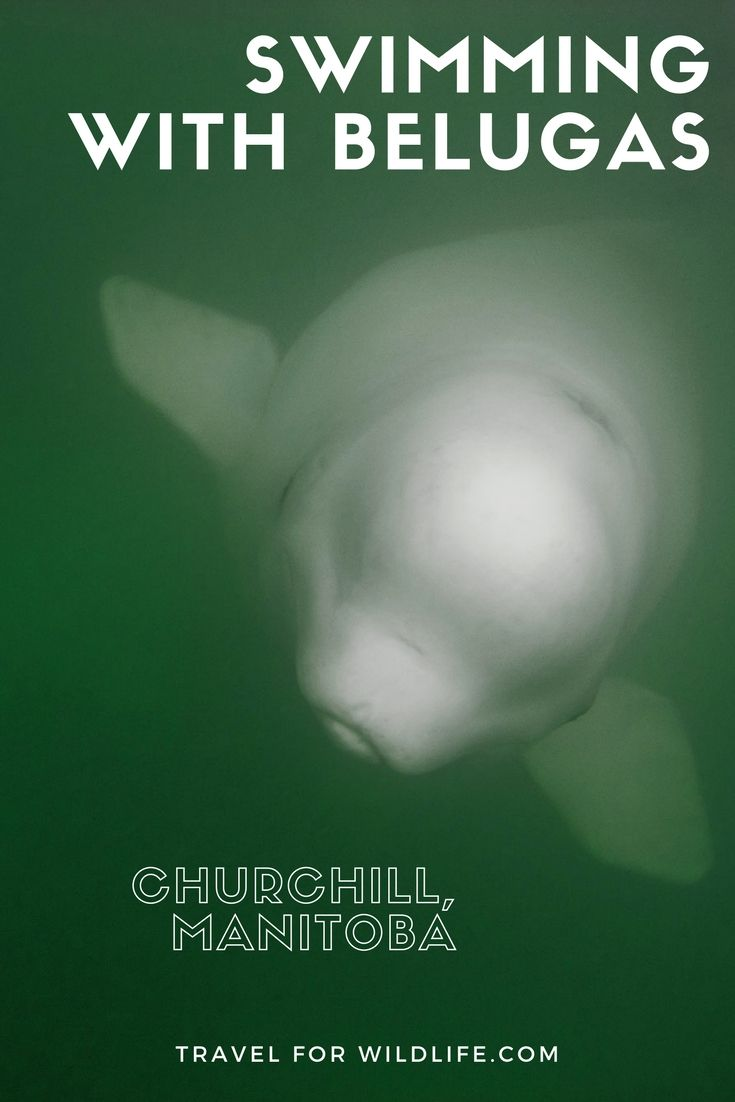 Swimming With Belugas In Canada Is One Of The Top Wildlife Encounters In The World In This Article We Ll Show Manitoba Travel Canadian Travel Wildlife Travel