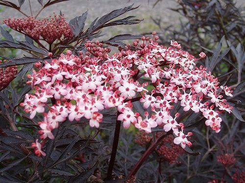 The Purple Leaves Of Black Lace Elderberry Give A Striking Background For Pink Flowers