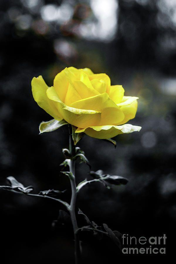 Monochrome Photograph Single Rose By Neha Gupta Yellow Roses Yellow Rose Flower Rose Painting