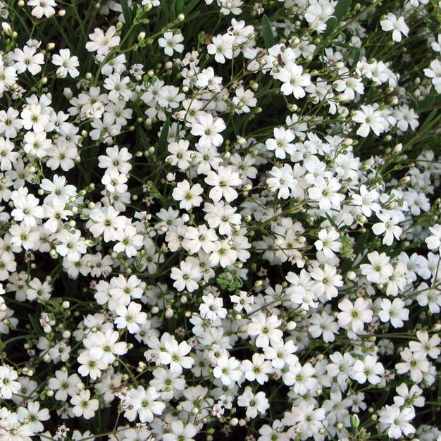 Organic Flower Seeds Gypsophila Creeping White Gypsophila