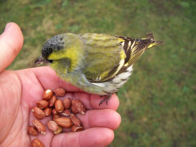 Fair Isle: Kiss the Birds! Siskin, first of the year and it's ...