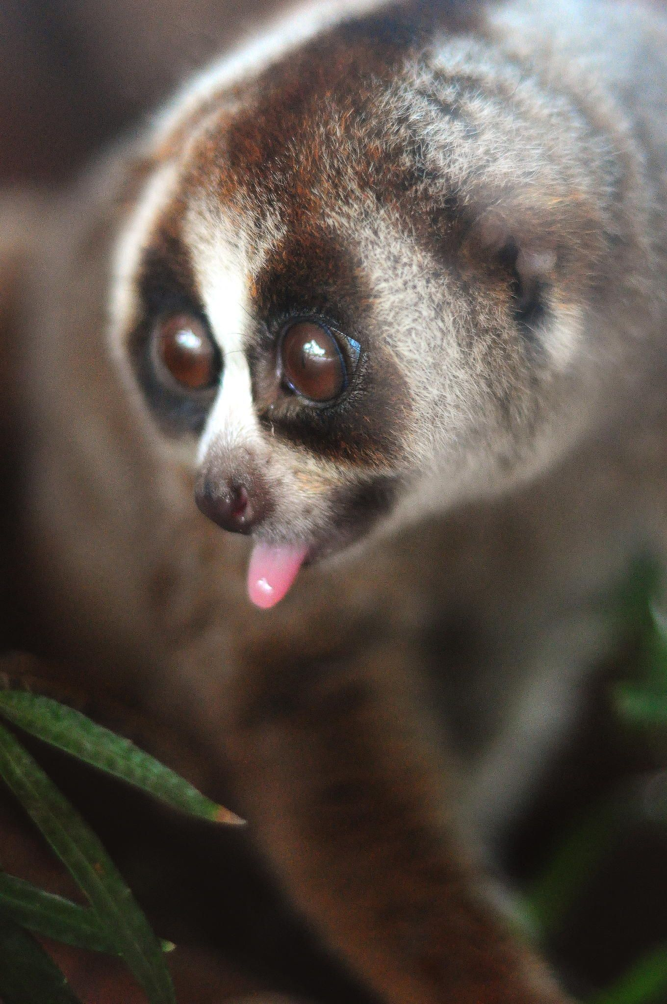 Slow Loris by Sham Jolimie on 500px Slow loris, Cute