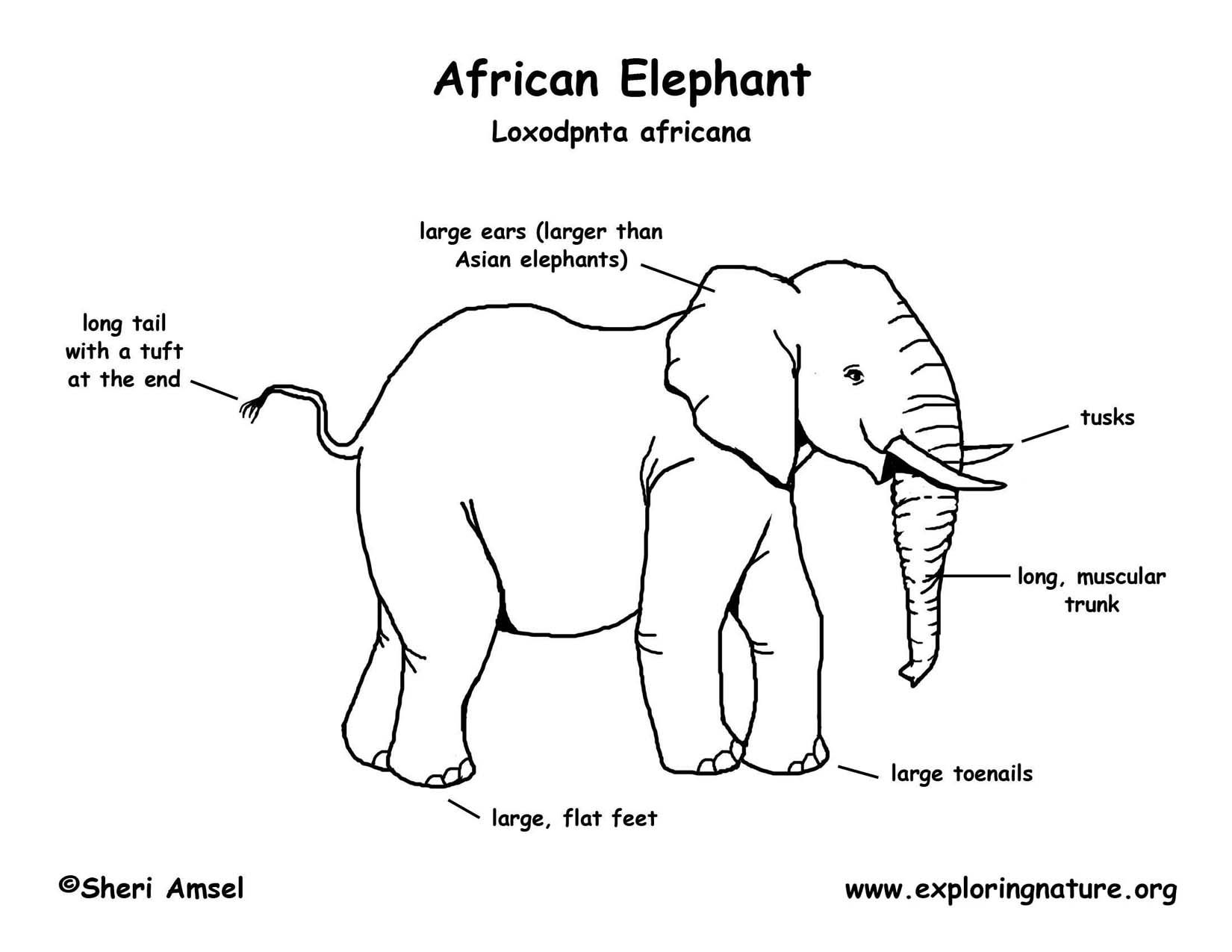Asian elephant google search science pinterest asian elephant asian elephant pooptronica Gallery