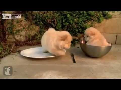 Chow Puppy Stuck In A Bowl Cutest Thing Ever Baby Animal Videos