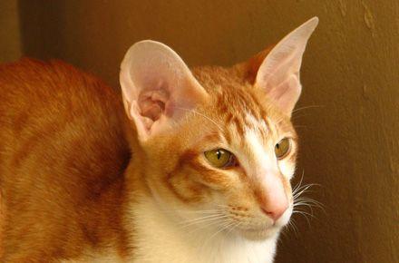 The Oriental Cat Oriental Shorthair Cats Oriental Cat Oriental
