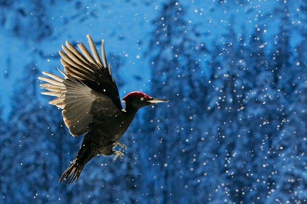 Black Woodpecker, Finnish Nature, December 2016