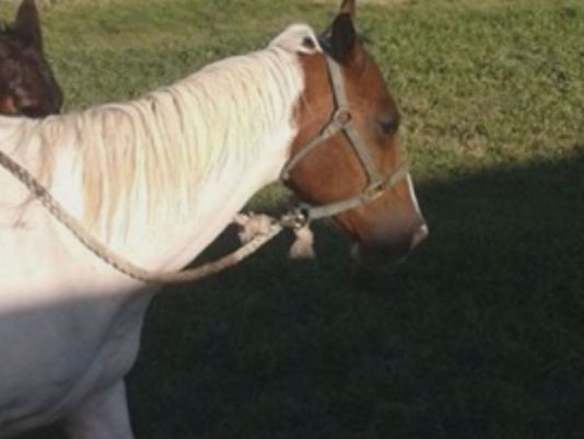 Horse dies after being tied to fence for days also with back legs tied.