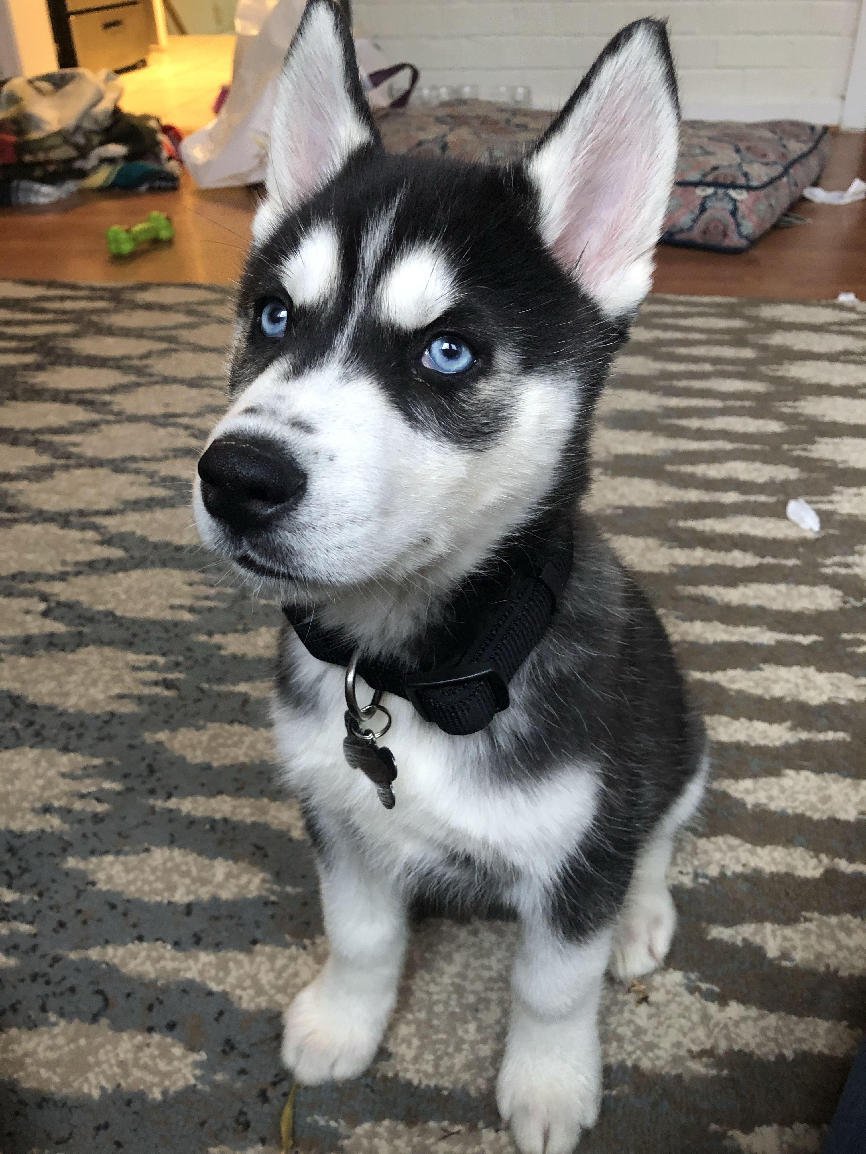 Kobe The Huskyy Huskypuppy Husky Puppy Husky With Blue Eyes