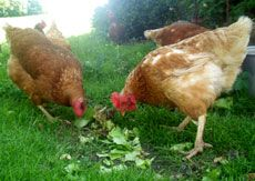 Meeting the Nutritional Needs of Chickens