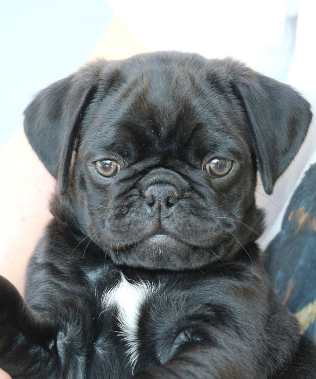 Pin By Jessica Weber On Mops Black Pug Pug Love Animals